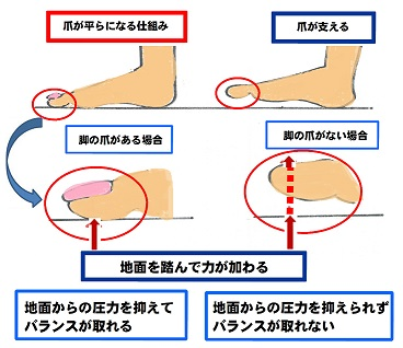 爪の役割2
