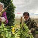 冬野菜を育てて味わう 大根収穫 アイキャッチ